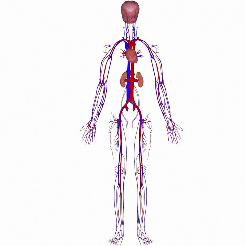 3d human vein brain model