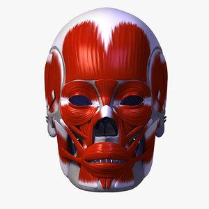 3d human skull facial muscles