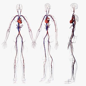 3d circulatory veins 1 model