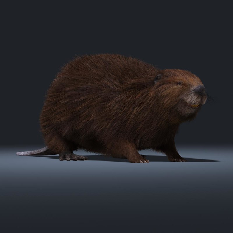 3d obj beaver fur