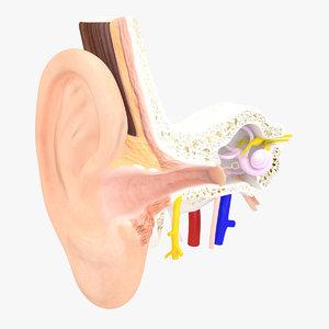 3d inner ear model