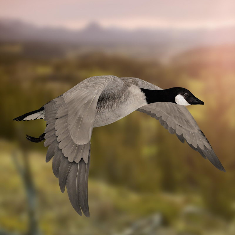 goose animation 3d ma