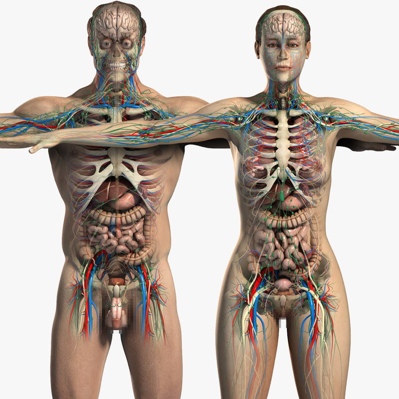 essentials male female anatomy 3d model