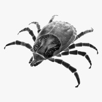 3d female dog tick dermacentor model