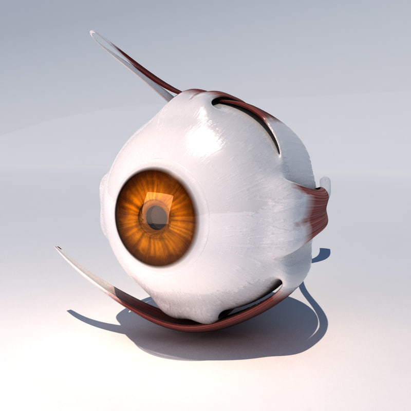 human eye muscles 3d model
