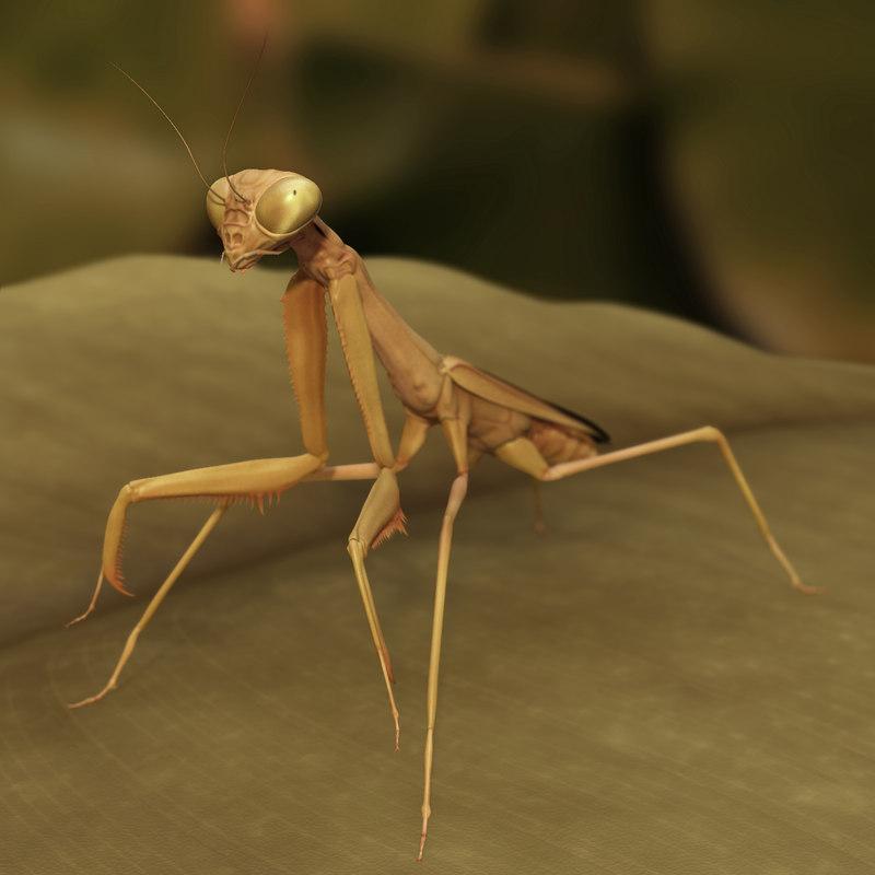 california praying mantis - obj