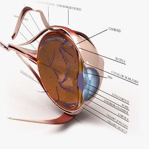 3d model human eye section -