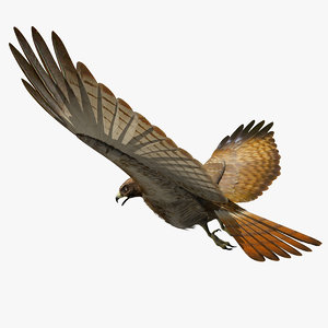 3d model red tailed hawk