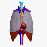 Thorax Organs (Human)