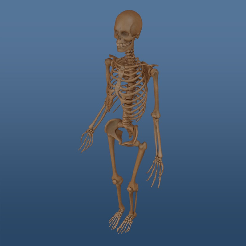 Skeleton (Human Male)