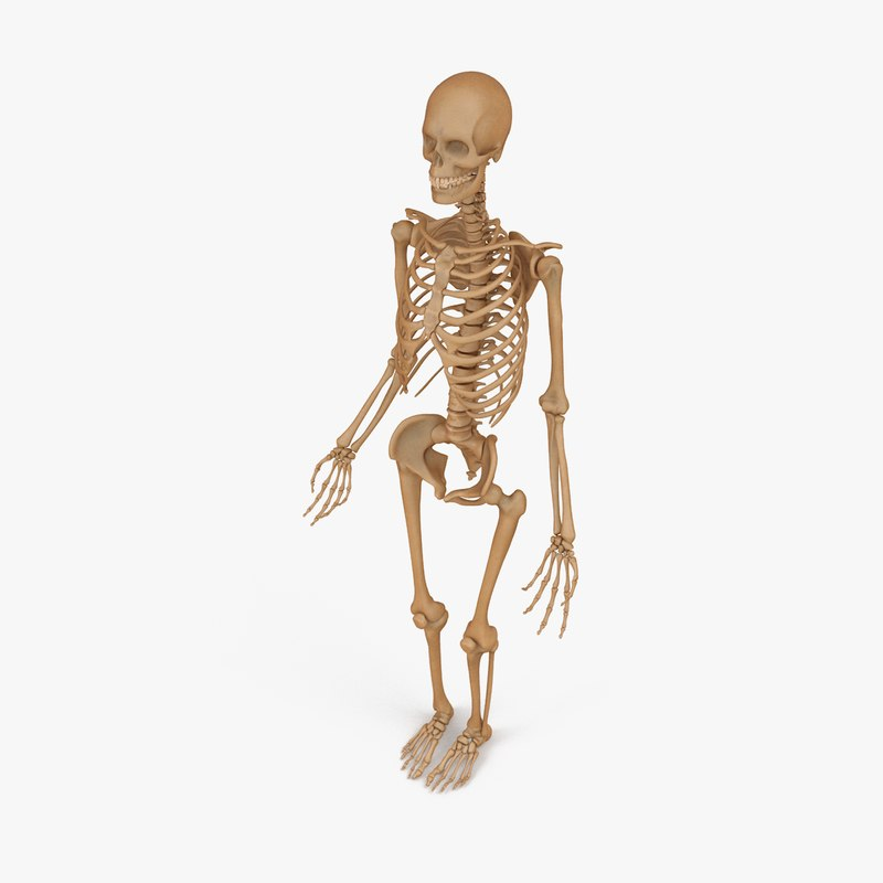 accurate male human skeleton 3d model