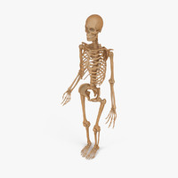 Skeleton (Human Male)