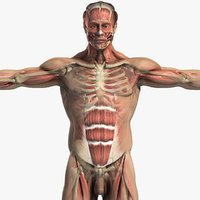 3d model of male body muscular skeletal