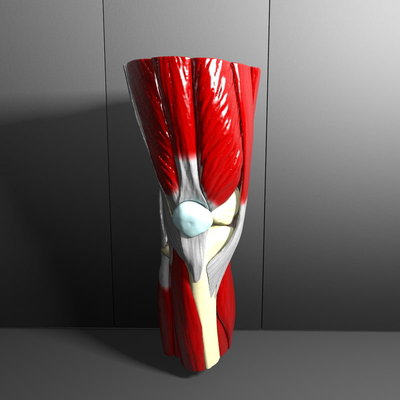 c4d human knee joint