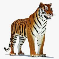 amur tiger 3d model