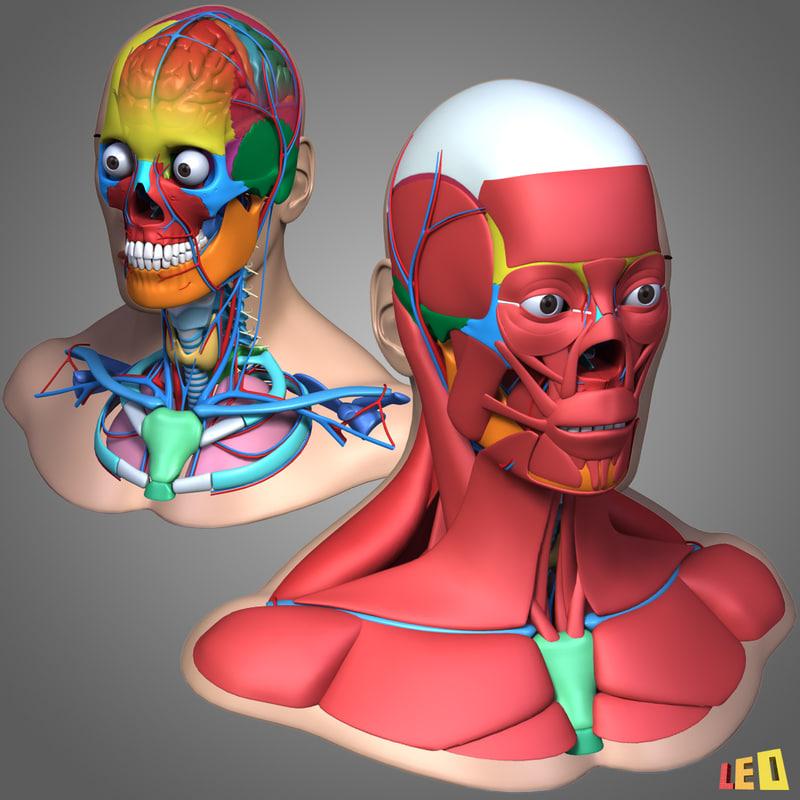 male head anatomy skeleton 3d model