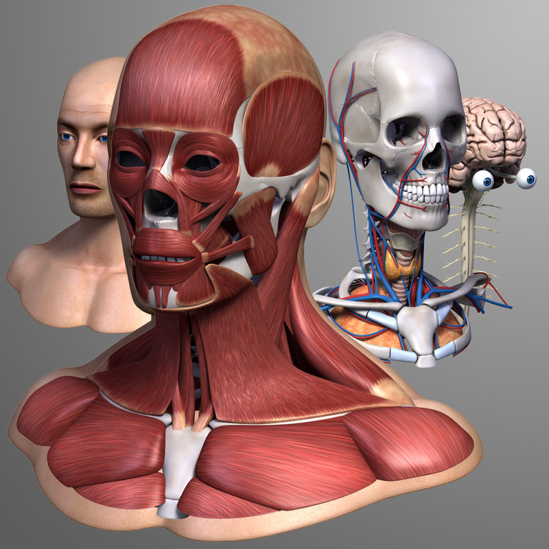 3ds max head anatomy