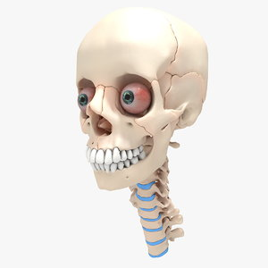 3d anatomical ultimate human skull