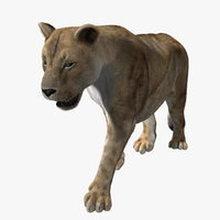 lioness fur lion animation 3d ma