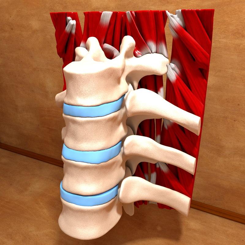 c4d human bones parts