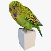 3d budgerigar parakeet model
