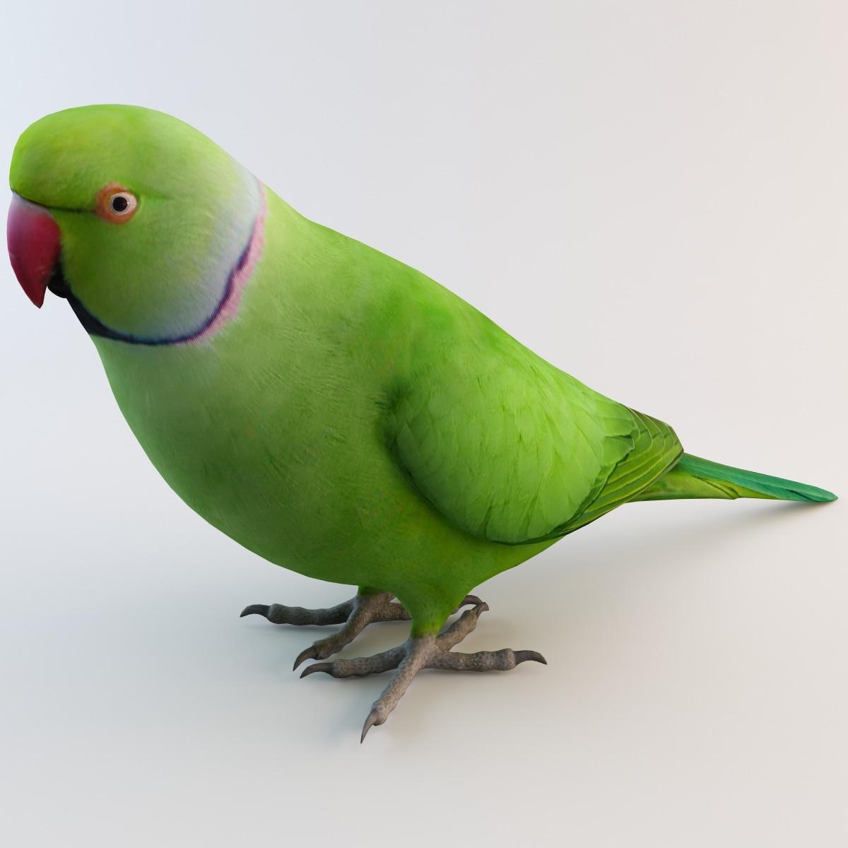 ringneck parrot 3d lwo