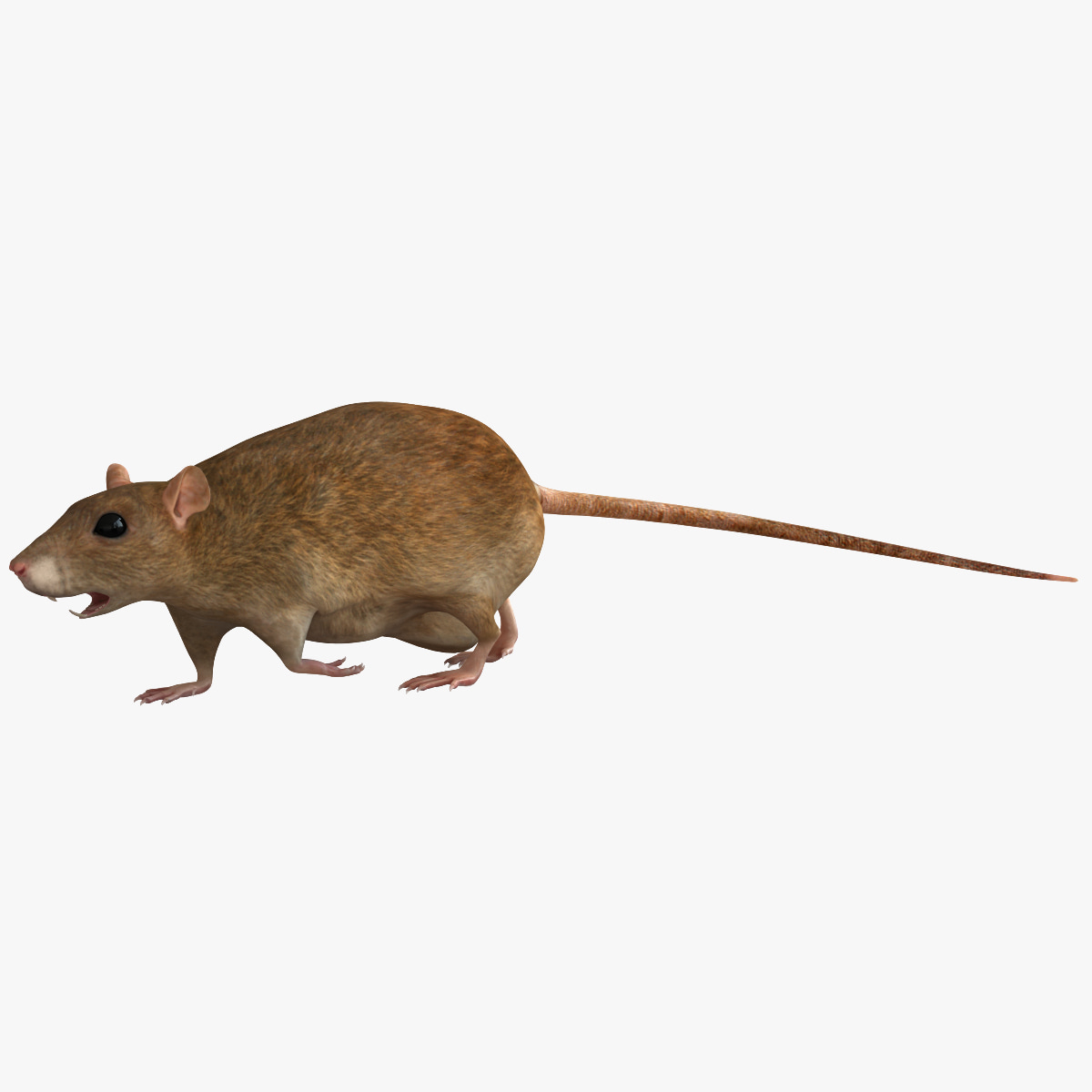 rat rodent modelled c4d