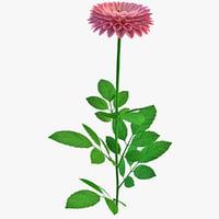 Dahlia Hybrida Flower
