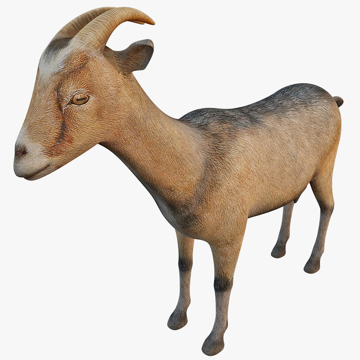 domestic goat capra hircus