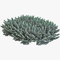 Acropora Coral 2