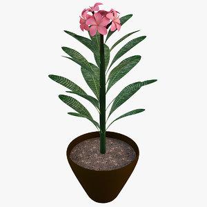 pink plumeria flower max