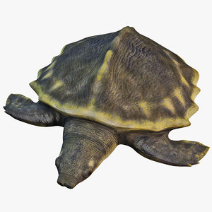 3d pig-nosed turtle model