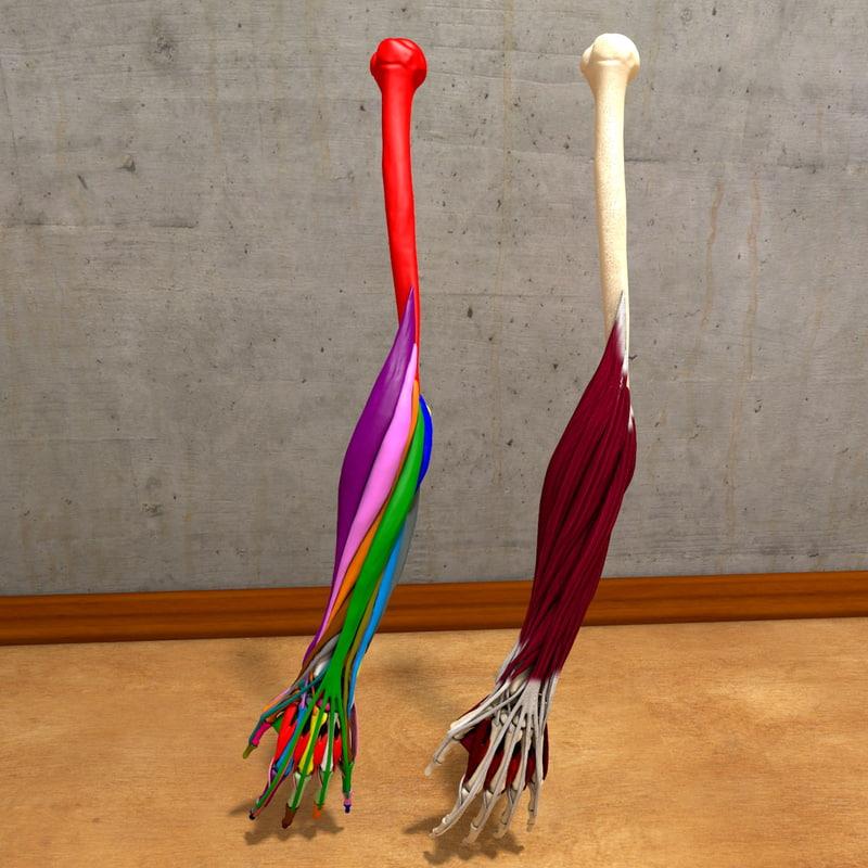 human hand forearm 3d model