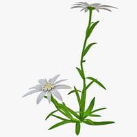 c4d edelweiss flower