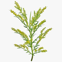 goldenrod plant 3d c4d
