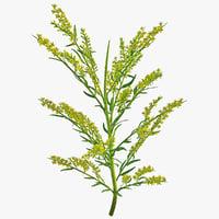 Goldenrod Plant