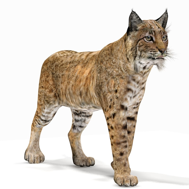 3d model bobcat rigging animation cat
