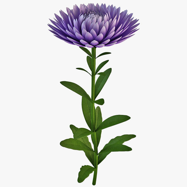 3ds china aster flower