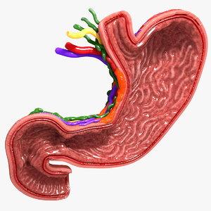 3d human stomach veins arteries