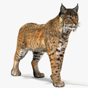 3d bobcat fur lynx rufus model