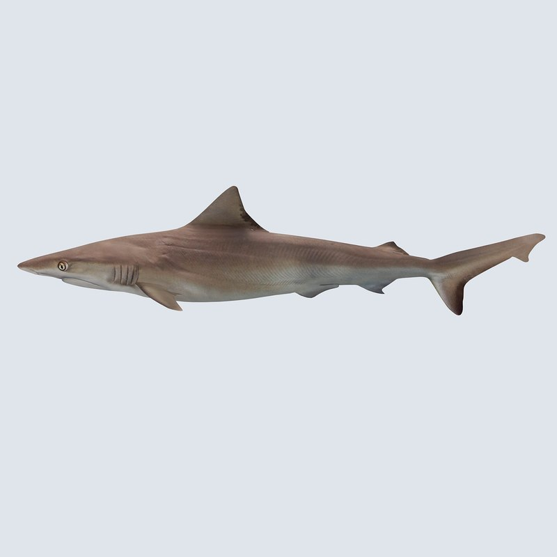 bronze whaler shark 3d model