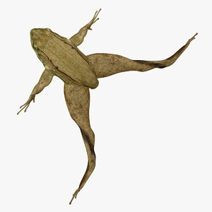 photorealistic green frog male rigged ma