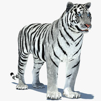 max tiger amur white animation