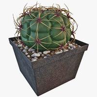 gymnocalycium riograndense cactus plant 3d model