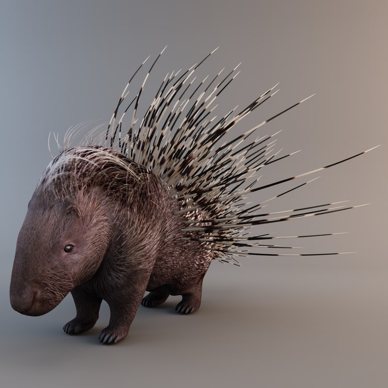 indian crested porcupine max