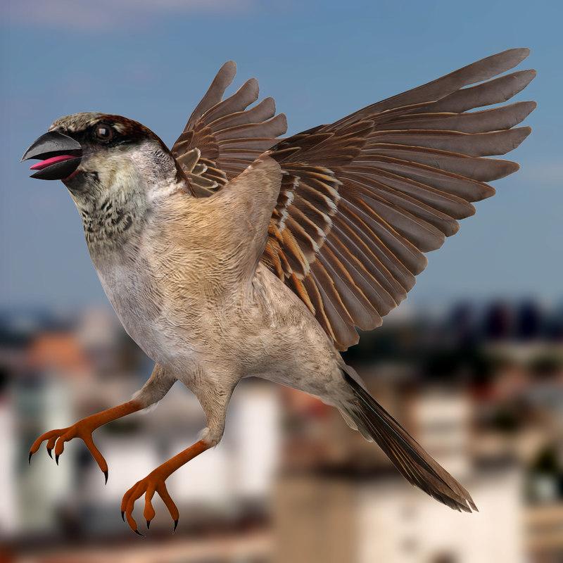 house sparrow passer domesticus 3d obj