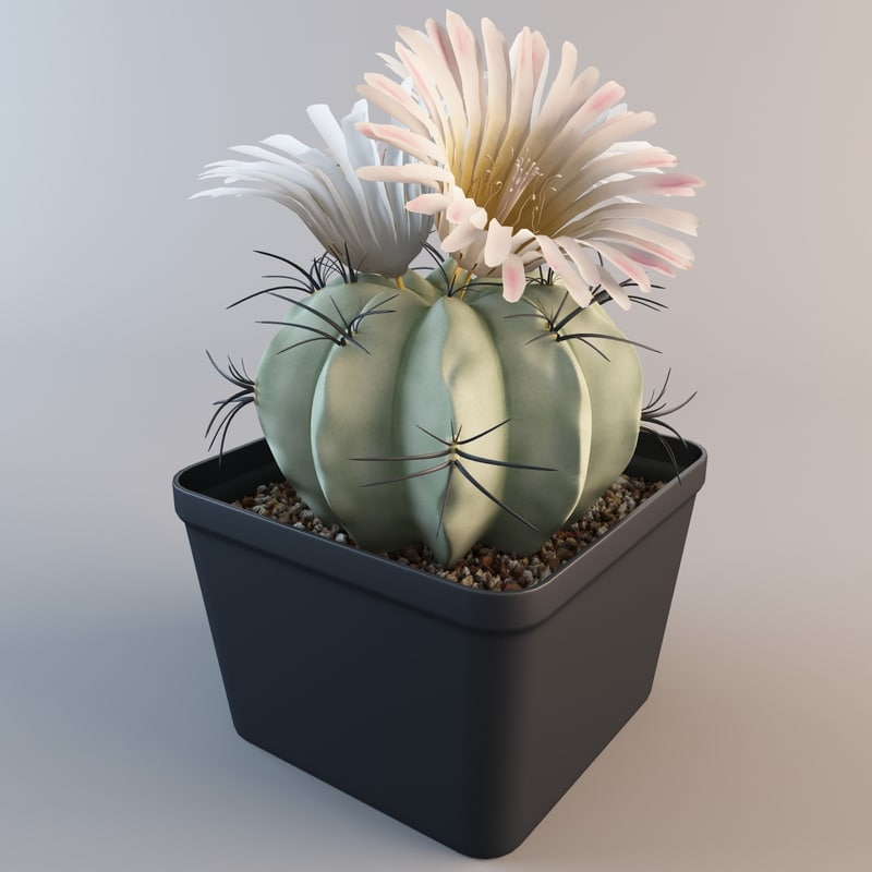 3d matucana aureiflora cactus plant model