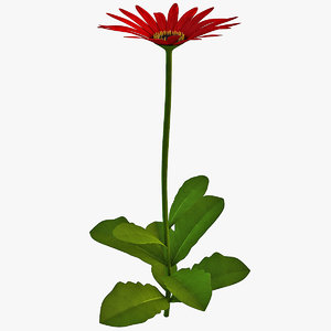 arctotis flower 3d model