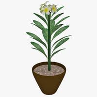 plumeria white flower 3d max