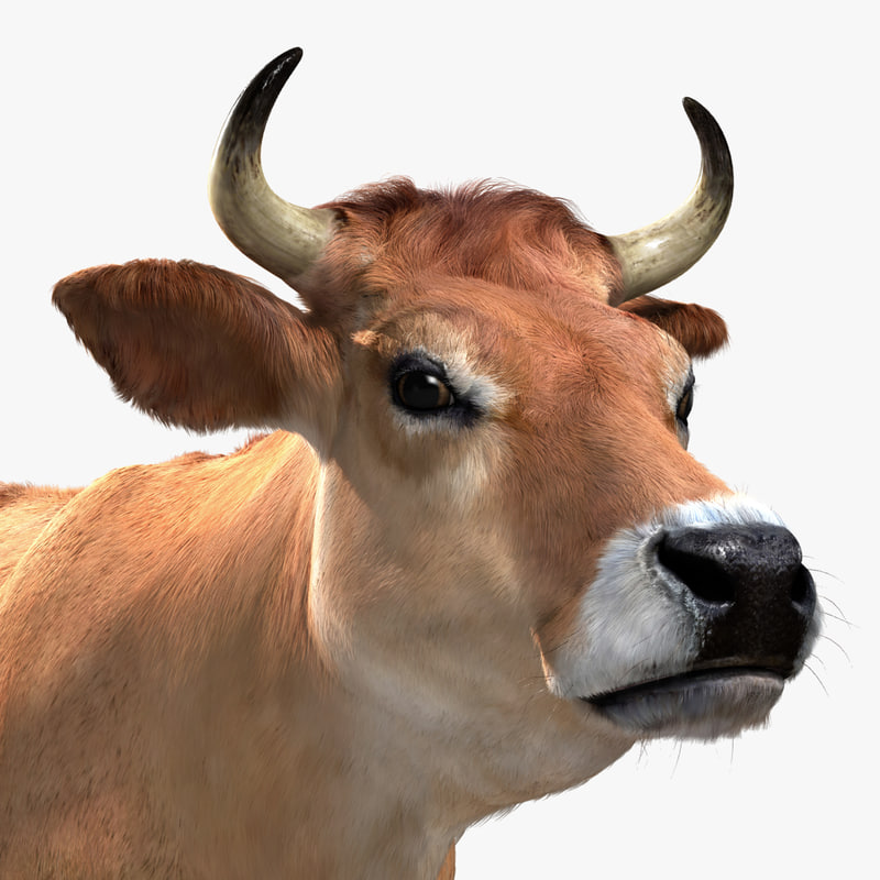 3d jersey cow fur animation model